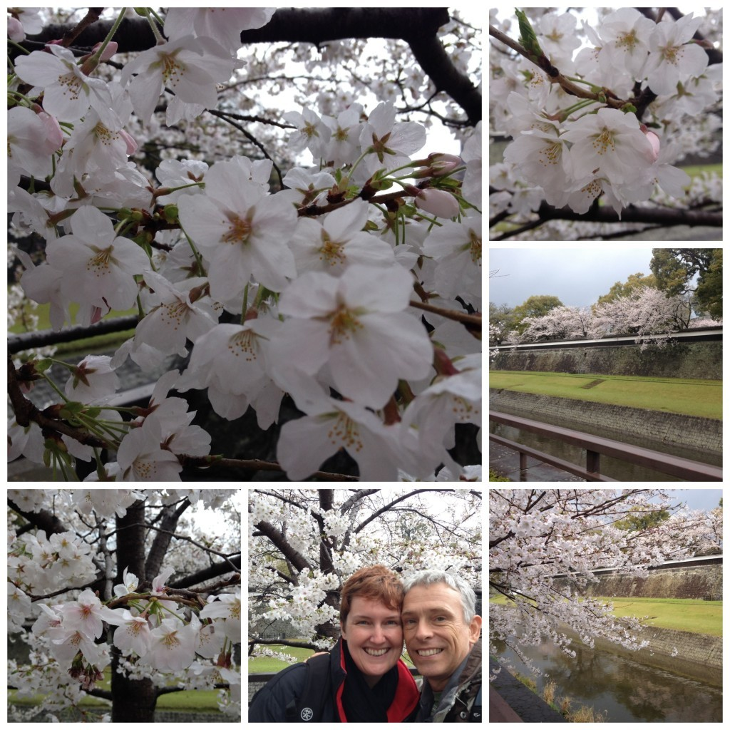 Cherry blossom at Kumamoto castle