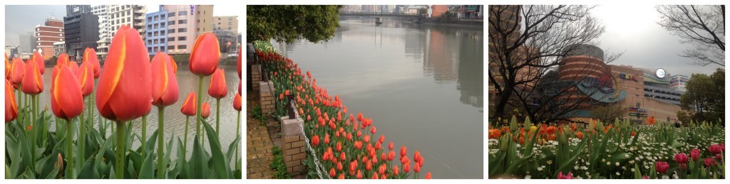 Tulips and cherry blossom along the river in Hakata