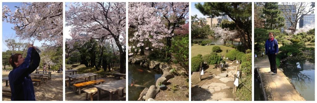 Cherry blossom in the Shukkeien garden