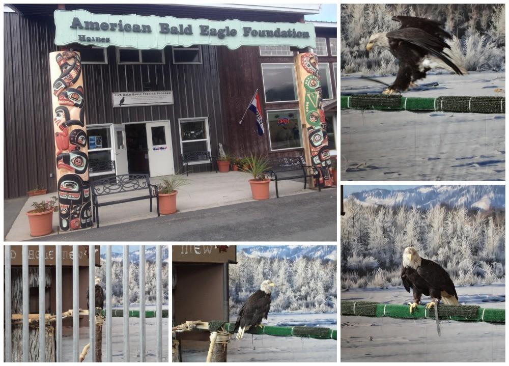 American Bald Eagle Foundation Haines