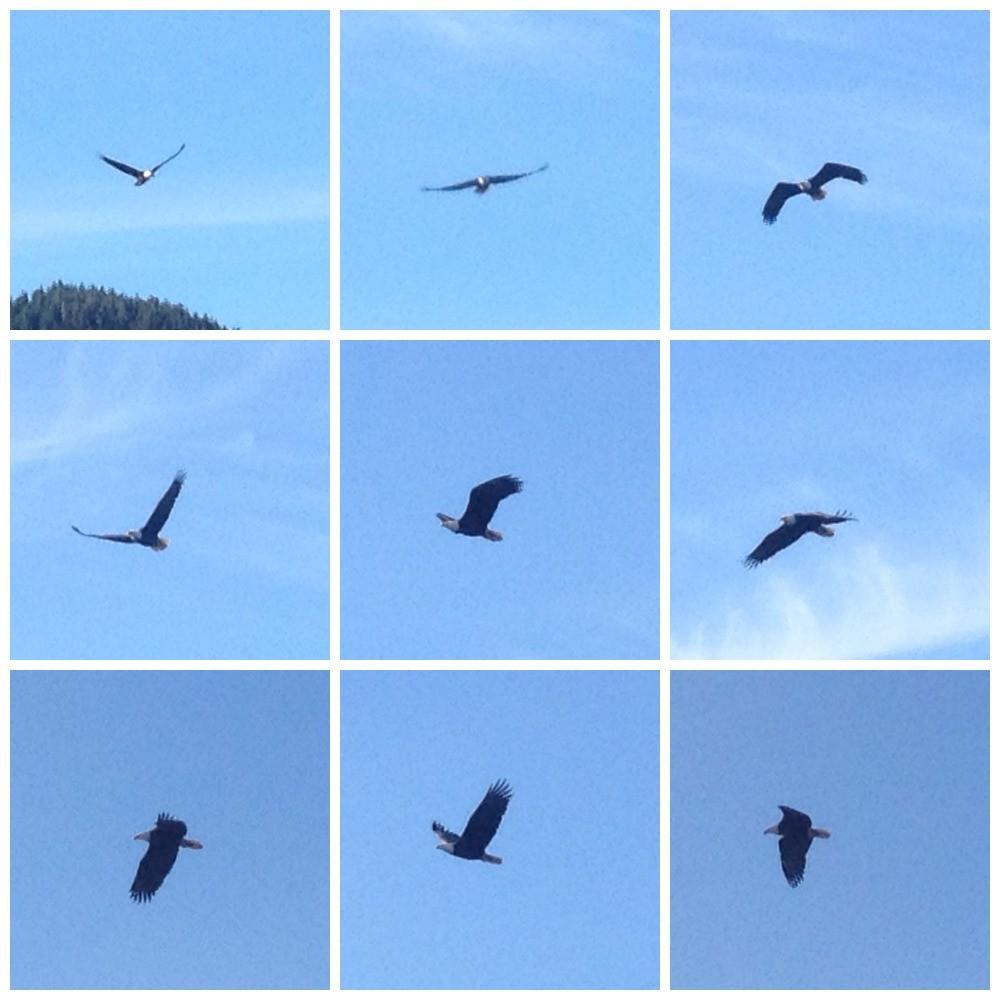 Bald eagle soaring above in Ketchiken