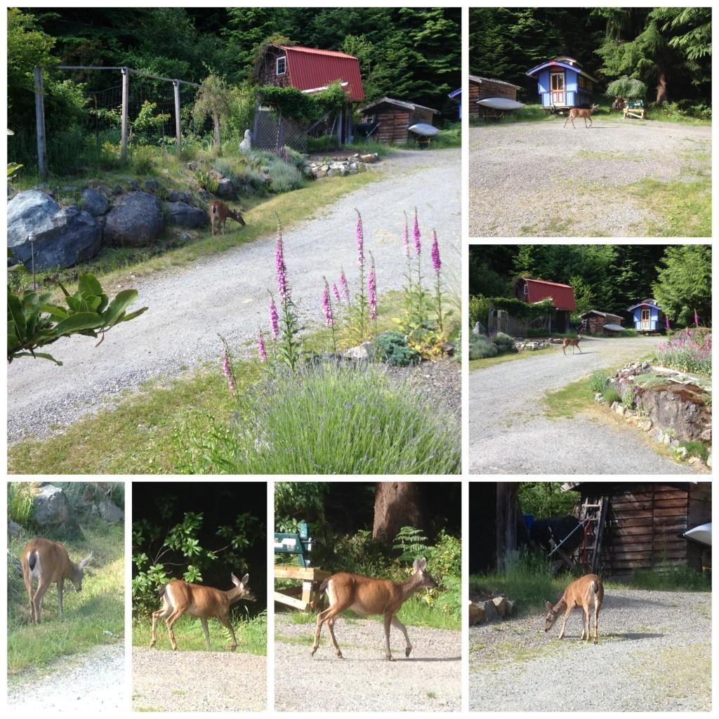 Deer from a distance on Bowen Island
