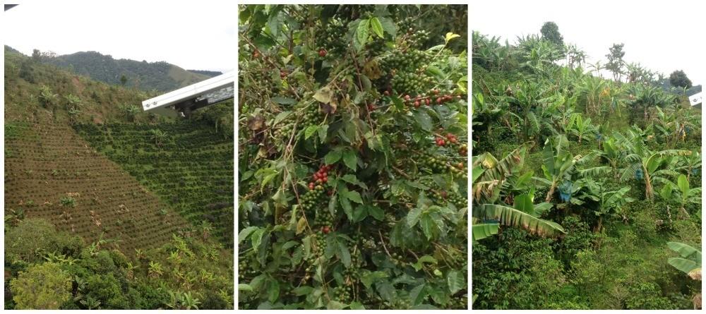 Coffee and bananas growing in Jardin