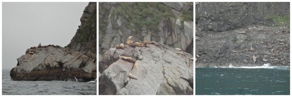Steller Sea Lions in Kenai Fjords