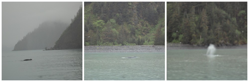 Whales in the Kenai Fjords