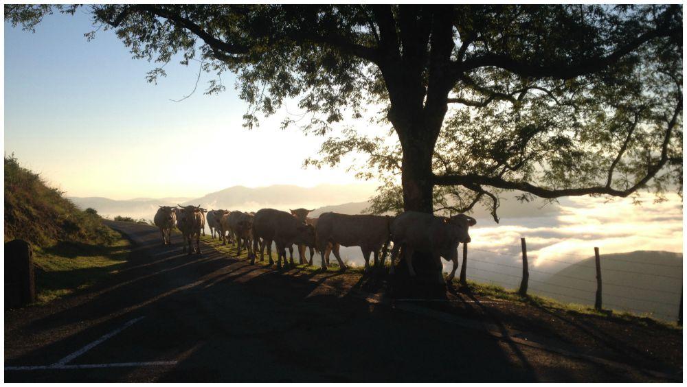 Cows walking the Camino way 2015