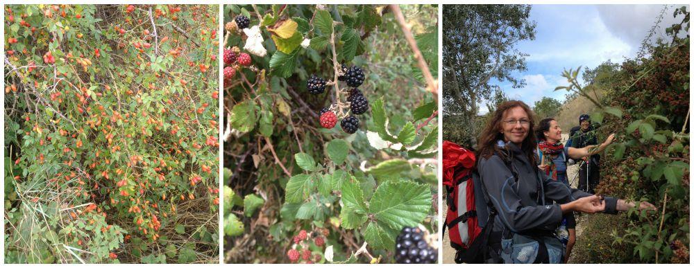 Picking blackberries on the Camino 2015