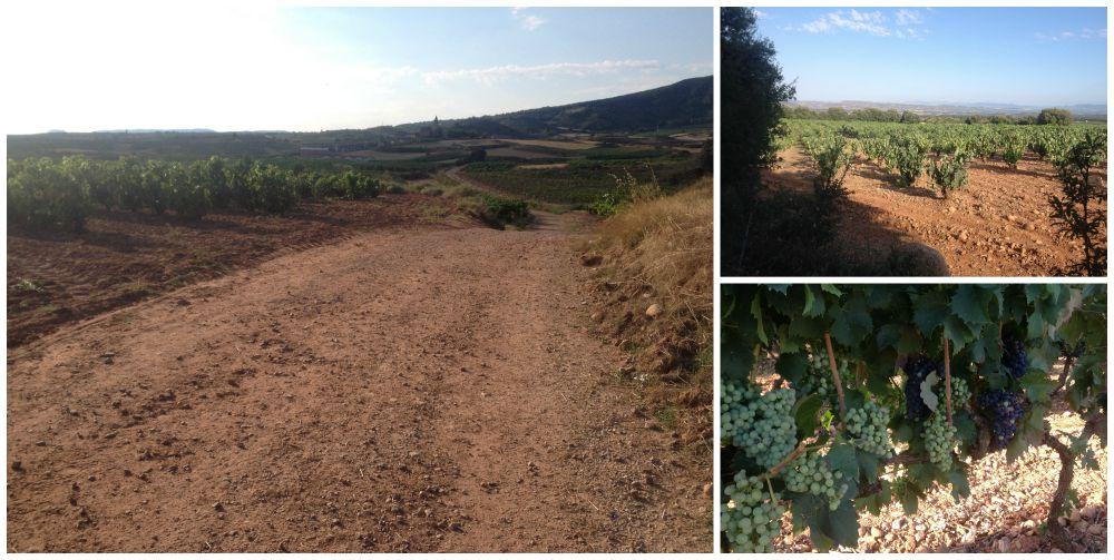 Rioja vineyards on the Camino near Ventosa
