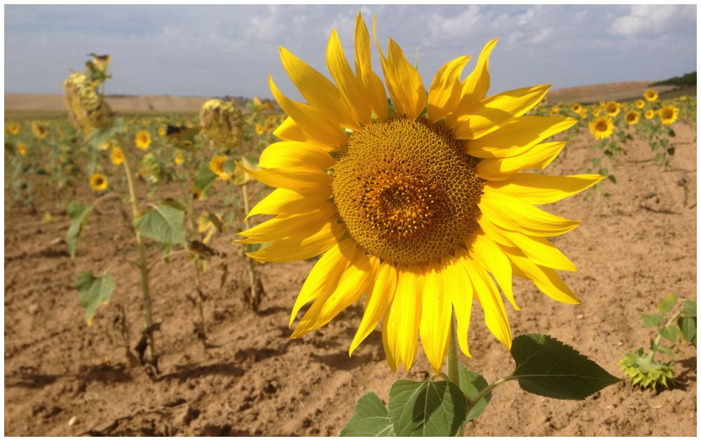 Sunflower fields on our Camino 2015