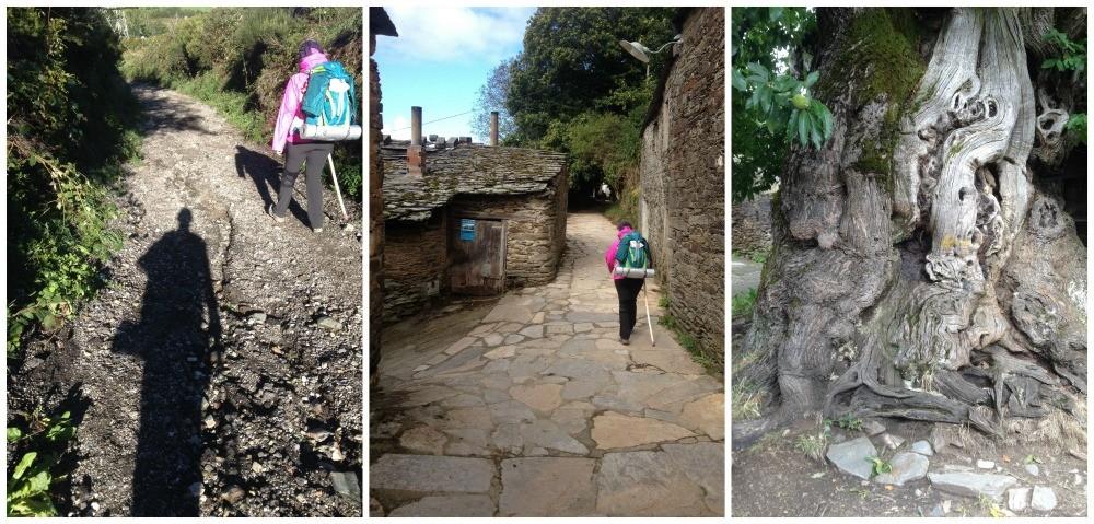 Near Triacastela on the Camino, 800 year old Chestnut tree