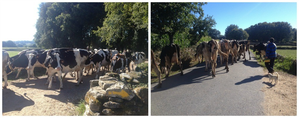 Sharing the road with lots of pilgrims and cows