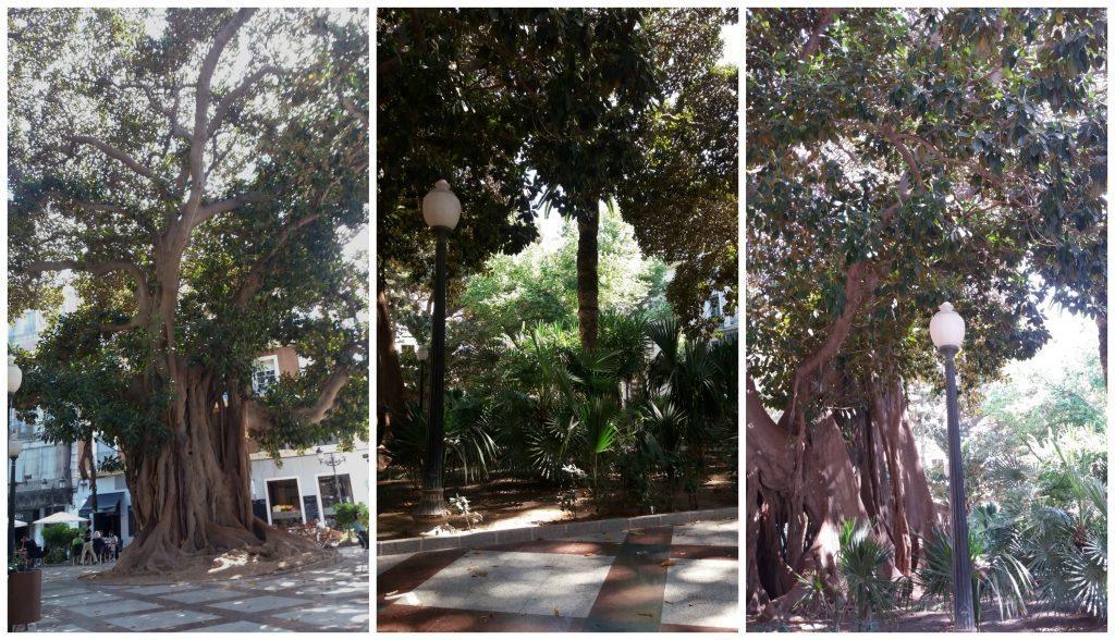 Huge trees at Plaza Gabriel Miro