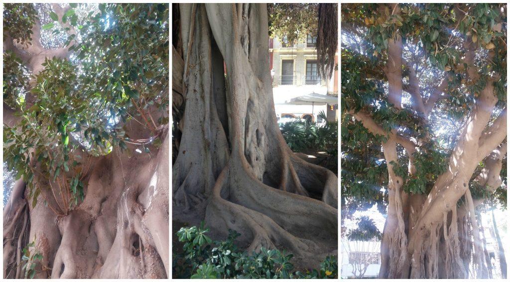 Incredible fig trees in the Plaza Gabriel Miro Alicante