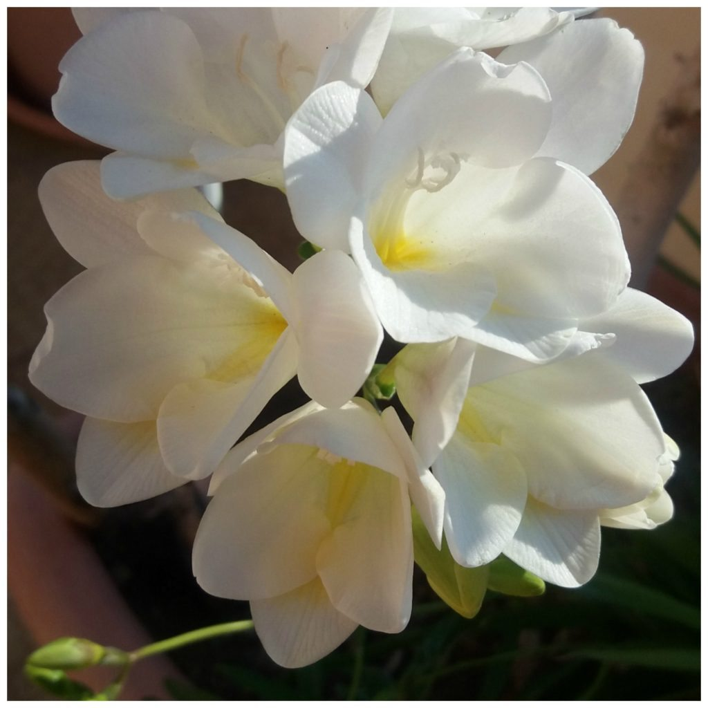 This Freesia bloomed on the day Miss Birdy died
