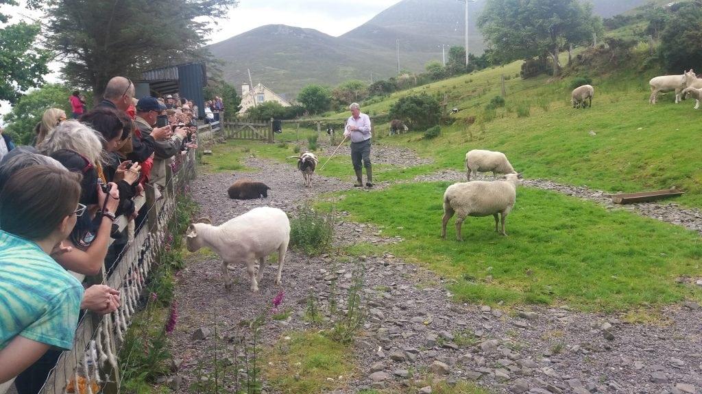 Sheep Dog Demonstrations by Brendan Ferris